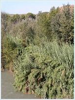 Bosque de ribera y cañaverales del río Segura a su paso por el Santuario de la Virgen de la Esperanza, Calasparra.