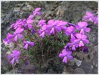 Violeta de Cazorla (Viola cazorlensis) © Margarita Sepulcre