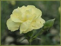 Clavel Lemon soft de Barberet&Blanc. Foto: Emilio Cano