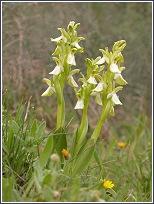 Tres individuos hipocromáticos de Orchis collina de las Lomas del Rame