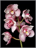 Orquídea ornamental del género Cymbidium