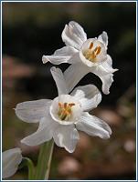 Narcissus tortifolius, en floración en estos días de invierno