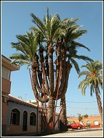 Palmera datilera de 12 brazos de La Palma (Cartagena)