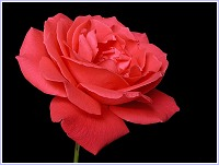 Rosa rosa, una flor ornamental también de otoño