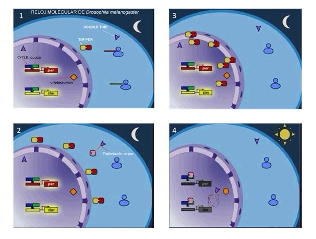 Cronobiología- Grupo Cronolab - Universidad de Murcia