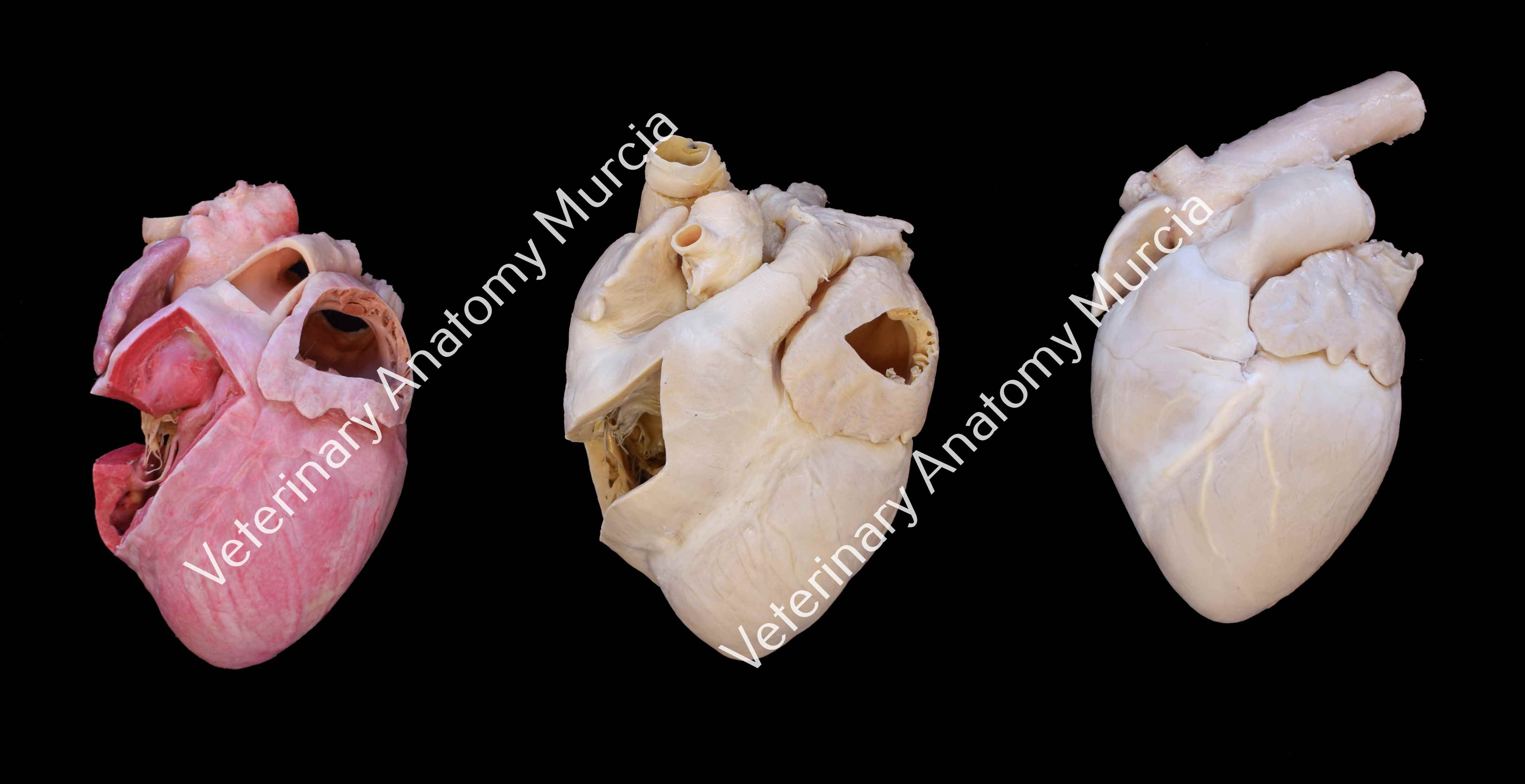 colección-corazones-cerdo.jpg