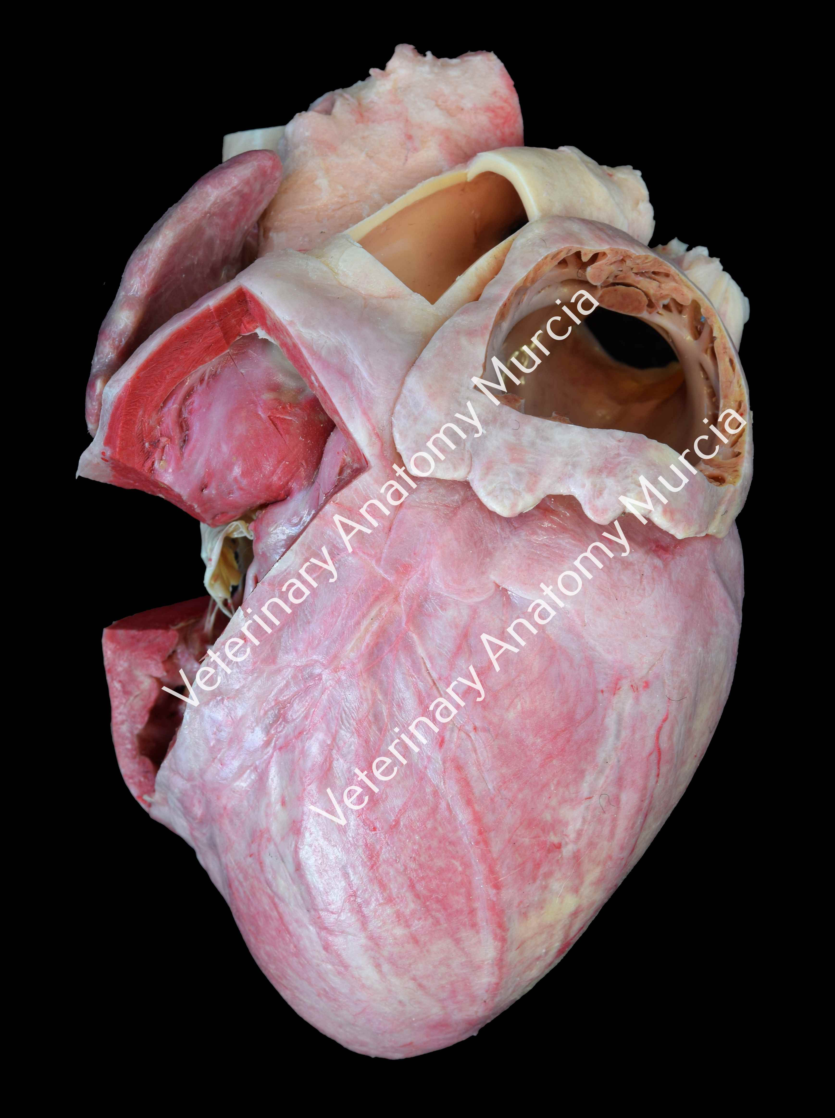 corazón-cerdo-inyectado-cara-izq-m.jpg