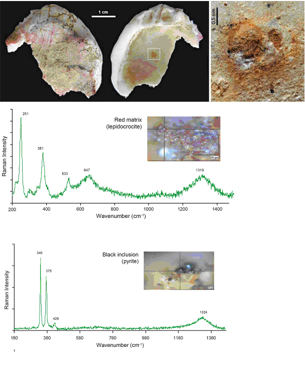 Concha de Spondylus gaederopus de la Cueva de los Aviones
