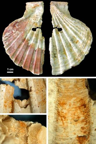 Media valva superior perforada de Pecten maximus de Cueva Antón