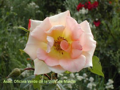 Jardin de rosas del mundo jardines de la universidad de for Jardin de la polvora murcia