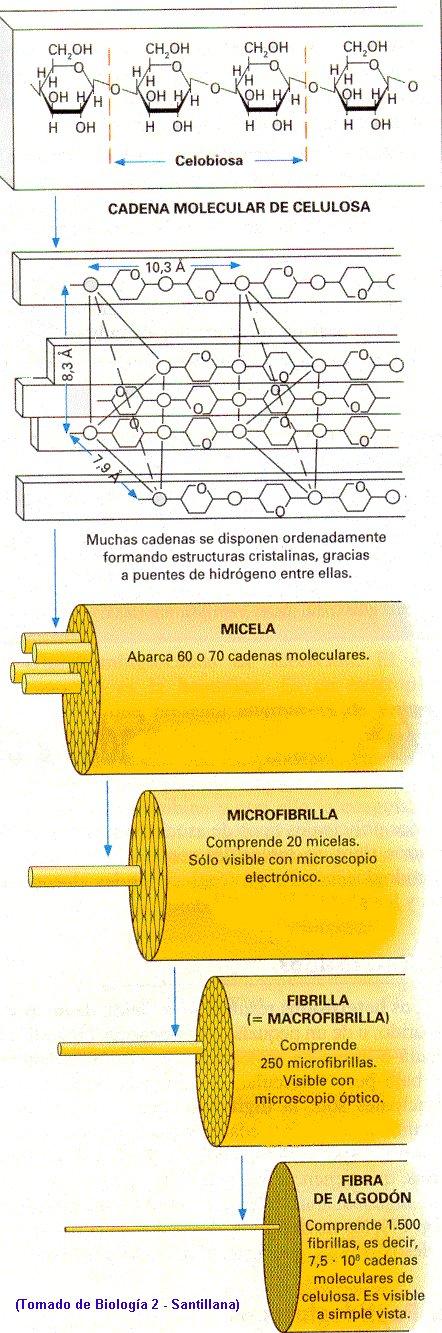 ESTRUCTURA DE LA CELULOSA