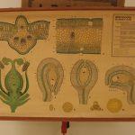 Lámina de histología de hoja y flor (anatomía vegetal).