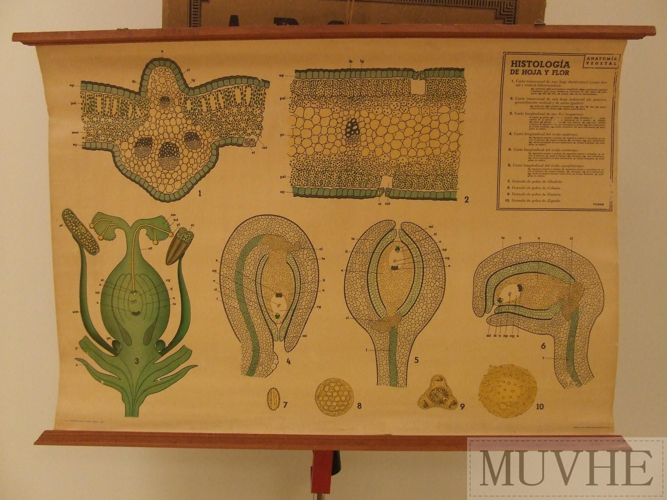 Lámina de histología de hoja y flor (anatomía vegetal). | MUVHE