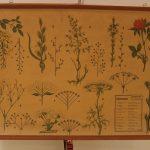 Lámina de inflorescencias (morfología vegetal).
