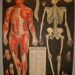 Lámina de sistema muscular y óseo.