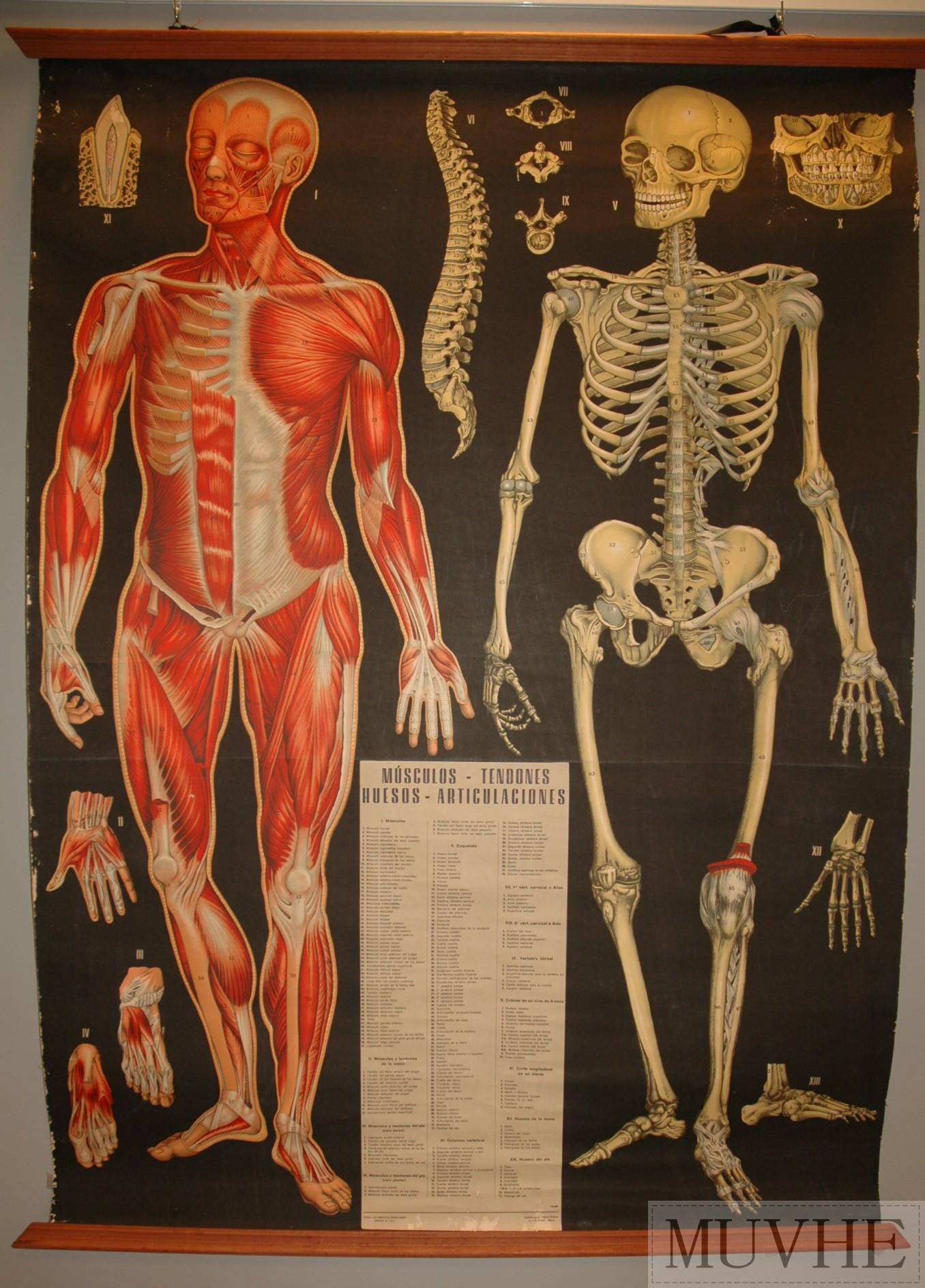 Lámina de sistema muscular y óseo. | MUVHE